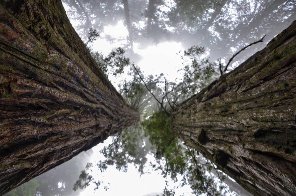 Дървета Секвоя